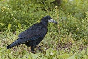City birds - rook - Corvus frugilegus - black crow