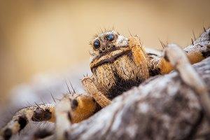 Tarantula Wolf Spider