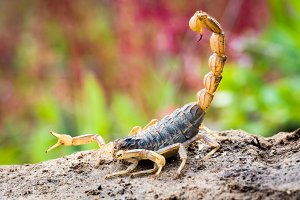 Scorpion in attack position