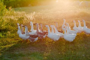 Flock of geese grazing on grass in summer field at sunset