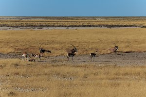 Group gemsbok or gemsbuck oryx and impala