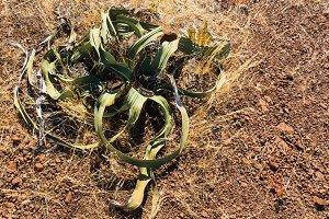 Old welwitschia in desert Namibia