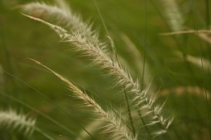 Beautiful Yellow Grass Weed captured with shallow depth of field