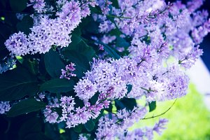 Juicy puffy lilac bush