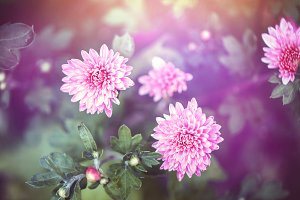 pink garden flowers in nature