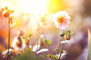 flower in garden in sunset in nature