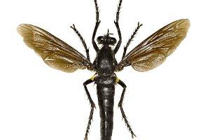 Robber Fly Dasypogon