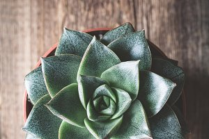 Succulent plant Stone rose