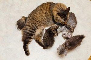 Mom cat and three kittens