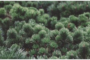 Close-up of small pines. Natural background.