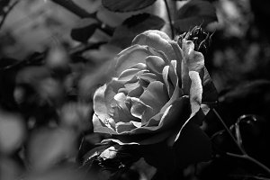 black and white Rose flower closeup