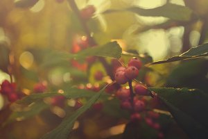 Wild Red Berries in Nature