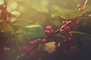 Red Autumn Berries Against Sunset