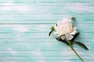 Peony flower on wooden background