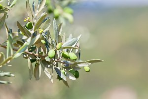 Olive tree banch
