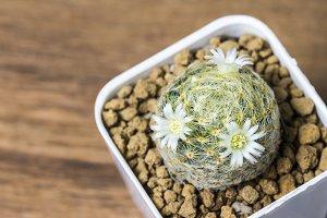 Mammillaria cactus flower in pot
