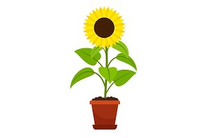 Sunflower plant in flower pot