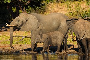 Mother and baby elephant drinking Chobe Botswana