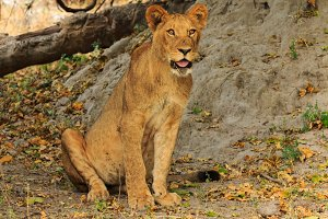 Lion sitting and watching