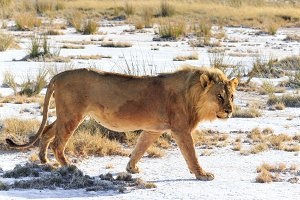 Male lion walking saltpan