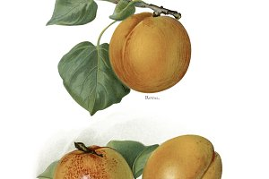 illustration of apricots (PNG)