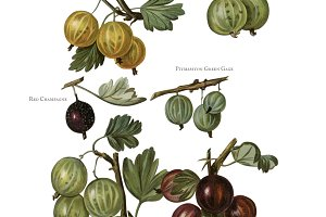 Illustration of gooseberry (PNG)