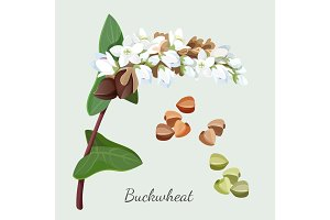 Buckwheat plant and its seeds isolated illustration on grey