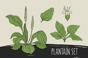 Plantain set​ and seamless pattern
