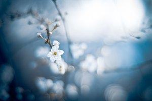 Wild cherry flower