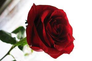 Beautiful red rose flower nature macro photo