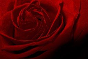 Vintage red rose flower shadow dark macro photo