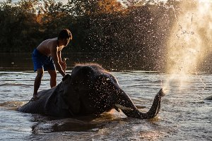 The elephants are bathing elephants.