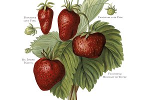 Illustration of strawberries (PNG)