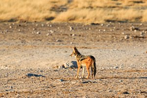 Black backed jackal observing salt pan