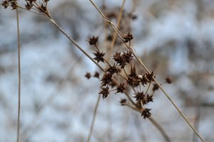 Seed Heads In The Snow