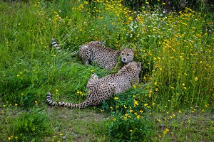 Two Cheetahs Lying In The Grass