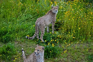 Two Cheetahs Standing And Watching