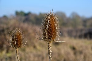 Two Teasel Seed Heads