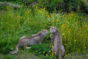 Two Cheetahs Watching
