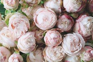Pink shrub roses background