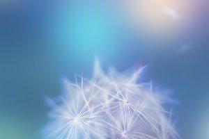 White macro dandelion