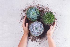 Succulent growing plants