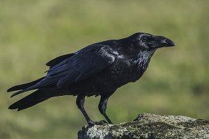 corvus corax crow