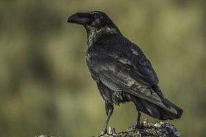 covus corax crow