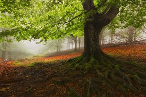 Tree roots in a foggy misty forest