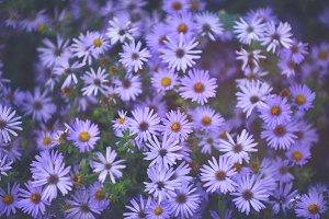 Tranquil Purple Flower Fields