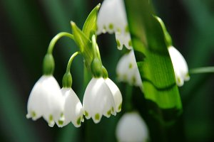 Snowdrops in Japan