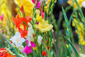 Gladiolus flowers in garden.