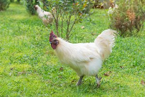 White hen on green grass