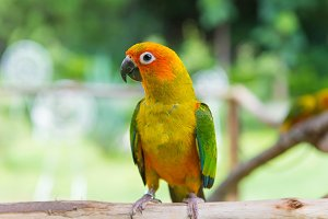 Lovebird or Parrot standing on tree